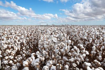 Fototapete Cotton Crop