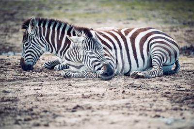Couple de zèbres allonges