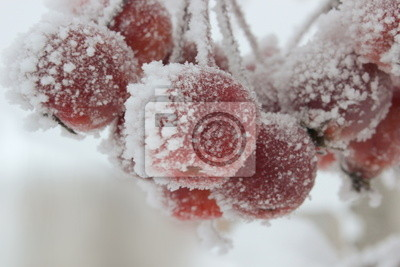 Crabapples in winter, covered in snow and ice