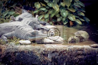 Crocodile Gavial du Gange
