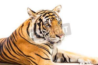 Fototapete Crouching junge sibirische Tiger isoliert auf weißem Hintergrund