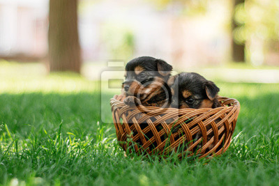 Cute Funny Puppies Yorkshire Terrier Fototapete Fototapeten
