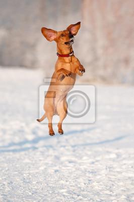 Dackel Hund lustig springen und tanzen