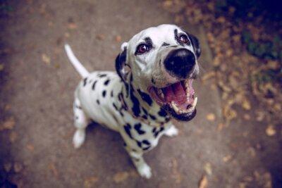 Fototapete Dalmatiner bellt / Hund bellt