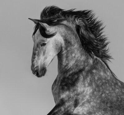 Fototapete Dapple-grau andalusischen Hengst - Porträt in Bewegung
