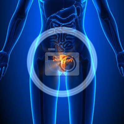 Der geschlechtsorgane - weiblich orgeln - human anatomy fototapete ...