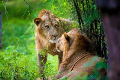 Fototapete Der sehr seltene asiatische Löwe in einem Nationalpark in Indien. Diese nationalen Schätze sind jetzt geschützt, aber aufgrund des städtischen Wachstums werden sie niemals in der Lage sein, Indien wie
