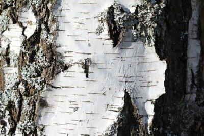 Fototapete Der Stamm einer Birke