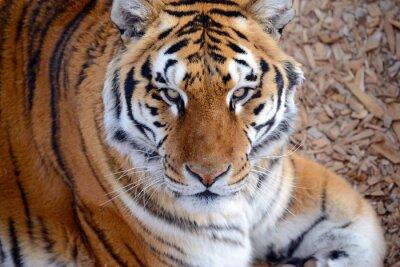 Fototapete Der Tiger, einst in vielen Gebieten Asiens, Rußlands und des Nahen Ostens verbreitet, ist zu einer vom Aussterben bedrohten Art geworden, die in ihrem ganzen Gebirge nur mit einem kleinen Bruchteil ih