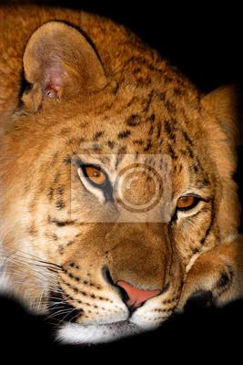 Der Tiger Porträt