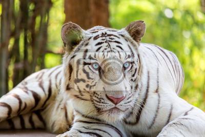 Fototapete Der Weiße Tiger Ist Eine Pigmentierungsvariante Des Bengal Tigers
