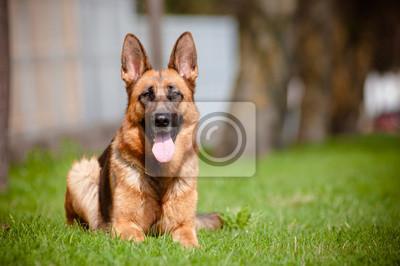 Deutsch Schäferhund im Freien