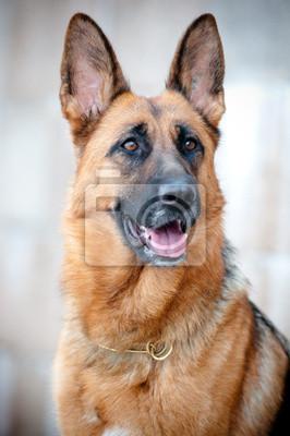 Deutsch Schäferhund Porträt Nahaufnahme