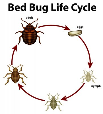 Diagram showing life cycle of bed bug
