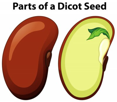 Diagram showing parts of dicot seed on white background