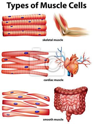 Diagramm, das arten von muskelzellen zeigt fototapete • fototapeten ...