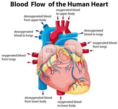 Diagramm, das den blutfluss im menschlichen herzen zeigt fototapete ...