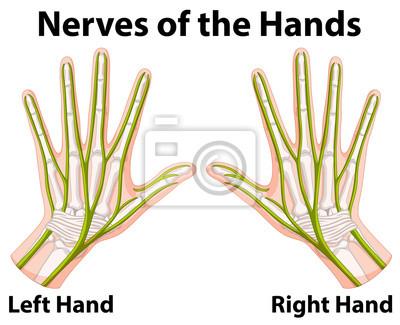 Diagramm, das die nerven der hände zeigt fototapete • fototapeten ...