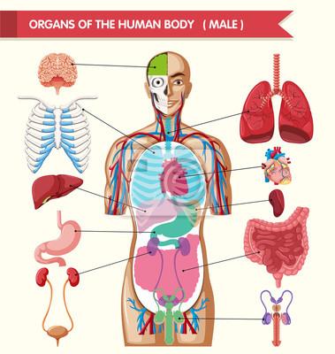 Diagramm, das organe des menschlichen körpers zeigt fototapete ...