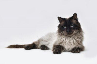 Fototapete Dichtungspunkt Ragdoll Katze