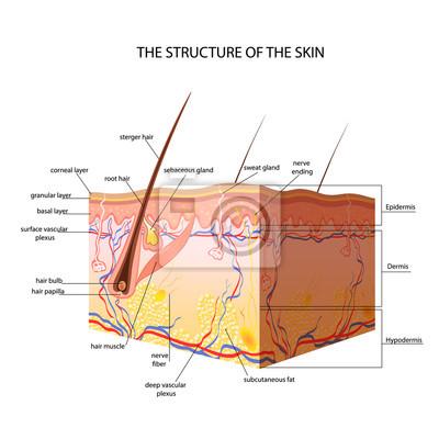 Die anatomische struktur der haut fototapete • fototapeten medicals ...