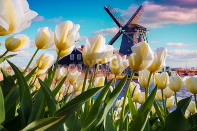Fototapete Die berühmten niederländischen Windmühlen unter blühenden weißen Tulpenblumen. Sonnige Szene im Freien in den Niederlanden. Schönheit des Landschaftskonzepthintergrundes. Kreative Collage.