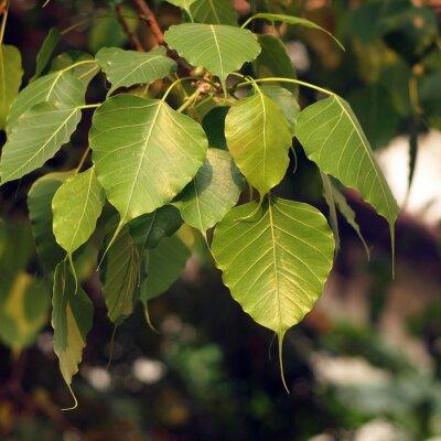 Die Blätter des Bodhi-Baumes