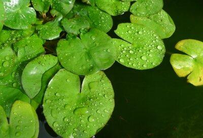 Die Blätter des Lotus