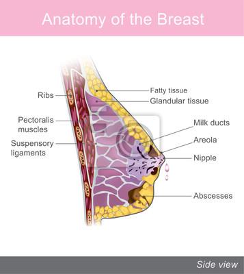 Die brust ist eine von zwei vorsprüngen, die auf der oberen ...