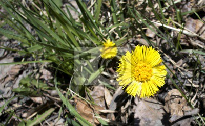 Die Erste Fruhlingsblumen Mutter Und Stiefmutter Fototapete