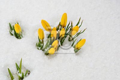 Die Ersten Fruhlingsblumen Gelbe Krokusse Im Schnee Fototapete