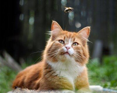 Fototapete Die Katze beobachtet den Flug der Hummel. Katze groß, rot und flauschig. Konzeptionell - Tiere im Freien Erholung. Katzenjagden für Insekten. Insektenstiche und Allergien bei Tieren