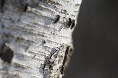 Fototapete Die Rinde der Birke close up