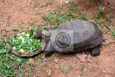 Die Schildkröte zu Fuß auf dem Boden wie ein Morgenruhm.