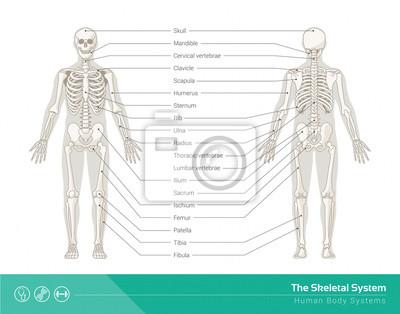Die skelett-systems fototapete • fototapeten etikettiert ...