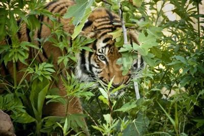 Fototapete Diese Malaiischer Tiger schaut durch die Zweige, wie es pirscht andere Tiger in einem lokalen Zoo zeigen die Liebe zum Detail im Sinne dieses Exponat