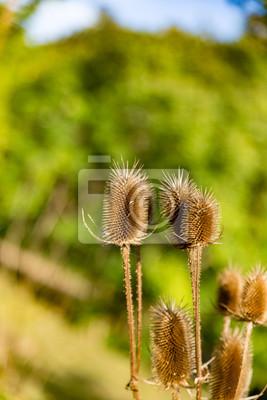 Distel in Herbstsonne