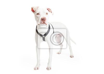 Fototapete Dogo Argentino Hund Standing In Einem Winkel