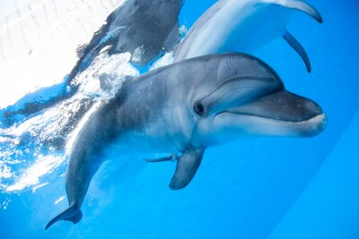 Fototapete Dolphin schwimmt unter Wasser