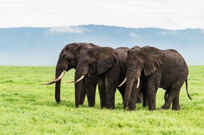 Fototapete Drei Elefanten stehen in einer Reihe auf dem Ngorongora Kraterboden