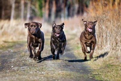 Fototapete Drei glückliche Hunde, die zusammen laufen