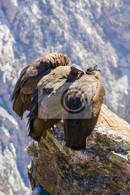Drei Kondore Bei Colca Canyon Sitzen Peru Südamerika Dies
