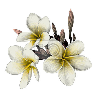 Drei magnolie blume skizze vektorgrafiken farbbild fototapete ...