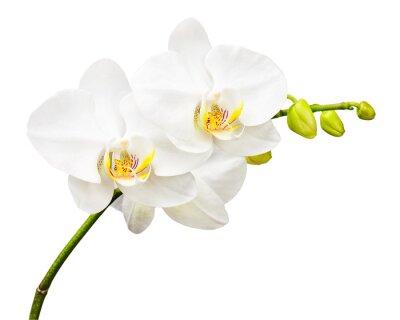Fototapete Drei Tage alte Orchidee isoliert auf weißem Hintergrund.