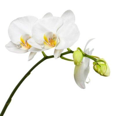 Fototapete Drei Tage alte weiße Orchidee isoliert auf weißem Hintergrund.
