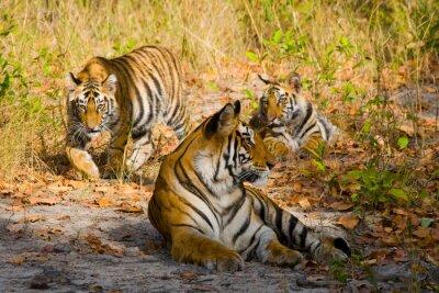 Fototapete Drei wilde Tiger im Dschungel. Indien. Bandhavgarh Nationalpark. Madhya Pradesh. Eine ausgezeichnete Illustration.
