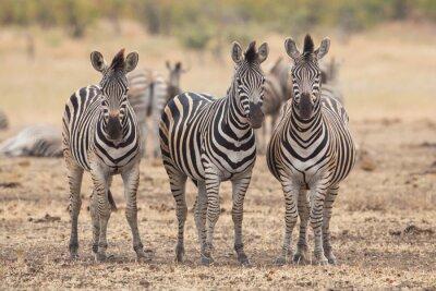 Fototapete Drei Zebras, Kruger Park, Südafrika