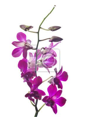 Fototapete Dunkel Lila Orchidee Blume Zweig Isoliert Auf Weiß
