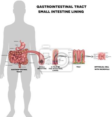 Dünndarmauskleidung anatomie, eine falte der darmschleimhaut ...