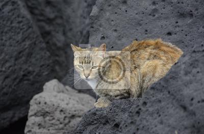 Dziki Beżowo Rudy Kot Na Tle Szarych Skał Fototapete Fototapeten